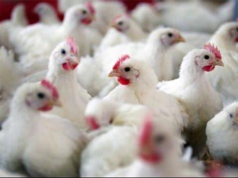صورة وزارة الأوقاف تبيح تقديم الأضاحي من الدّجاج