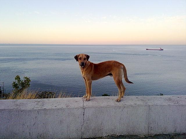 """صورة إدراج الكلب """"الجعاري"""" كفصيل معترف به رسمياً من قبل لجنة الكلاب العالمية"""