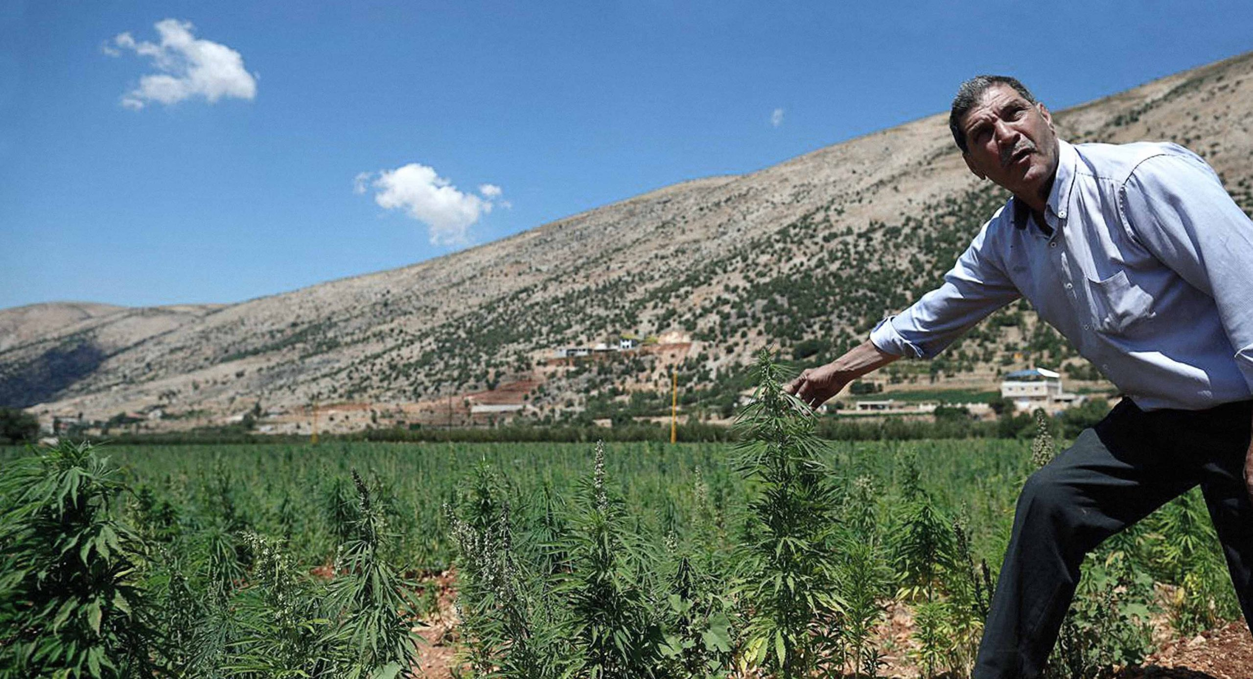 صورة مخاوف من انخفاض جودة الحشيش اللبناني بعد تدخُّل السلطة فيه